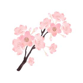 桜 花 水彩 イラスト