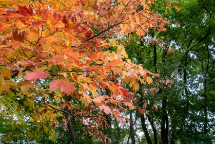 秋の風景、サトウカエデの紅葉