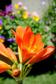 オレンジ色に開花した綺麗な君子蘭