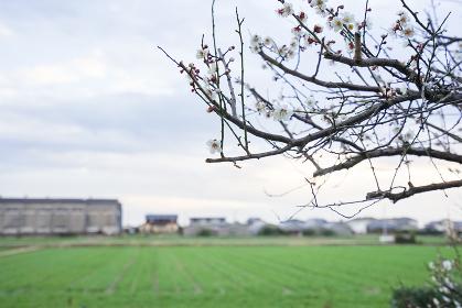 白梅と風景