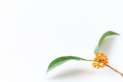 白背景のシンプルな金木犀の花と葉