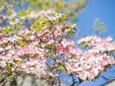 さわやかな青空とハナミズキの花 4月