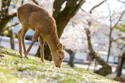 奈良公園の鹿と満開の桜 桜吹雪