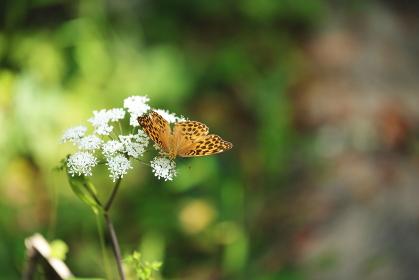 白い花の蜜を吸うヒョウモンチョウ