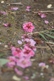 散った後の梅の花