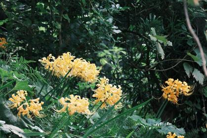 自然に生えた美しい黄色の彼岸花