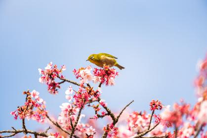 青空と河津桜に遊ぶメジロ