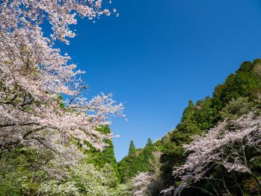 満開の桜と青空広がる里山の風景 3月