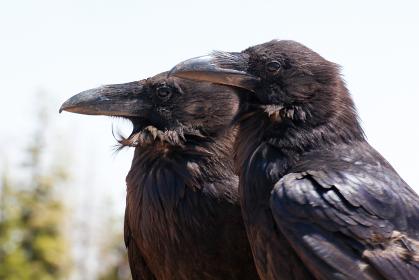 アメリカ・グランドサークルにてこちらを見つめる二羽の並んだカラスの横顔