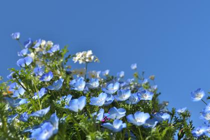 ネモフィラの花