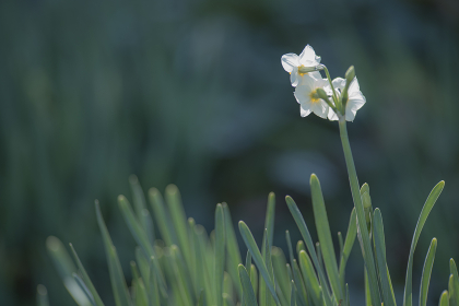 冬の晴れた日の水仙の花 1月