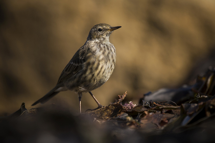 A rock pipit bird stood on seaweed