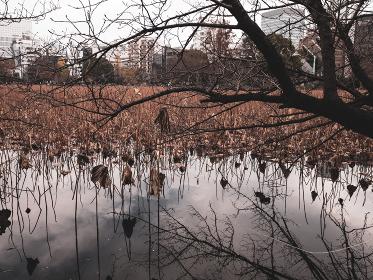 冬枯れの蓮 不忍池
