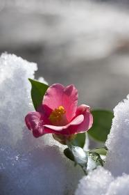 雪解けとツバキの花