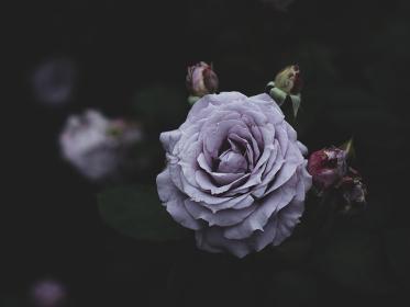 薄紫色のバラの花 5月