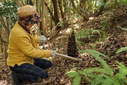 タケノコ刈りをする高齢の女性