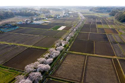 今井の桜並木 千葉県 白井市
