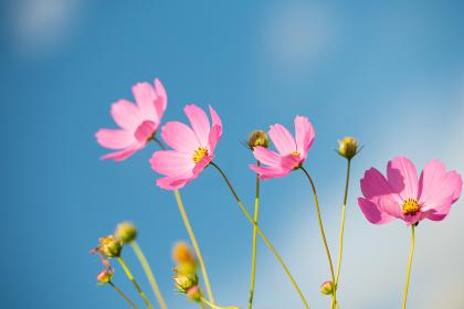 青空の秋晴れに美しく咲く秋桜