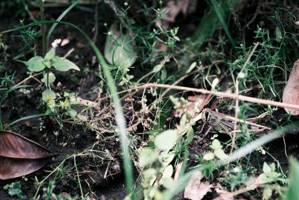 草むらに身を潜めるバッタ