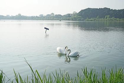 千波湖のハクチョウ
