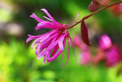 公園に咲く満開のベニバナトキワマンサクの赤い花のクローズアップ