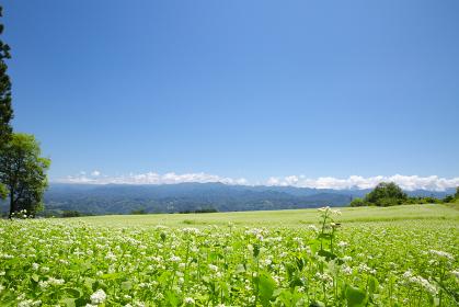 長野県下条村のそば畑 ソバ 蕎麦の花