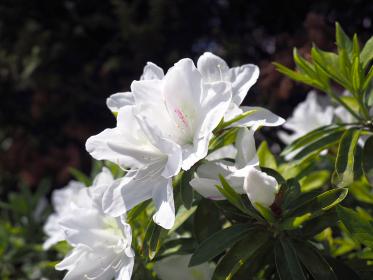 ツツジの花が咲き、季節は初夏へ向かう