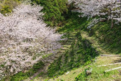 満開の桜と西伊豆黄金崎のキャンプ場につながる道 3月