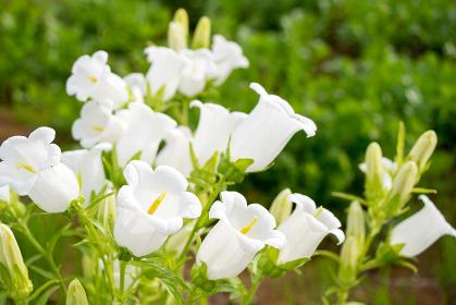 スズランの花(植物・イメージ・汎用)
