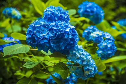 明月院のアジサイ(ブルー)