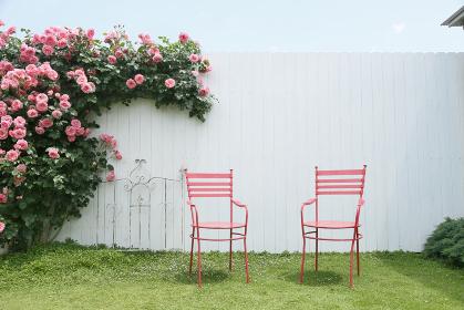 爽やかな白い壁と満開のバラ
