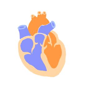 心臓 断面図