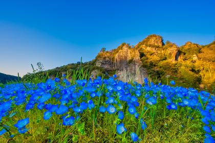 耶馬渓に咲くブルーの美しいネモフィラ