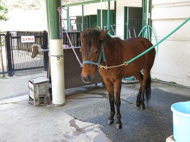 根岸競馬記念公苑のポニーセンターにいる与那国馬(日本在来馬)