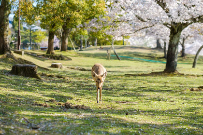 奈良公園の鹿と満開の桜
