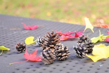 公園で子供が集めた松ぼっくりと落ち葉