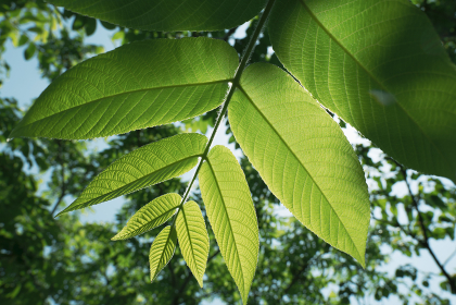 鮮やかな新緑の葉