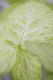 観葉植物のシンゴニウム