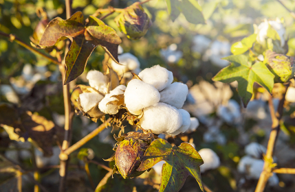 Cotton Field At Harvest Time