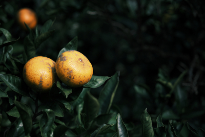 自然に育つミカンの木