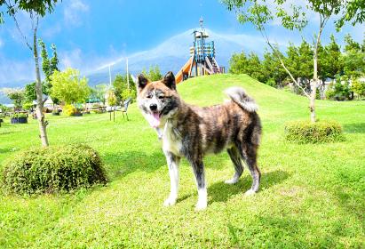 秋田犬~天然記念物