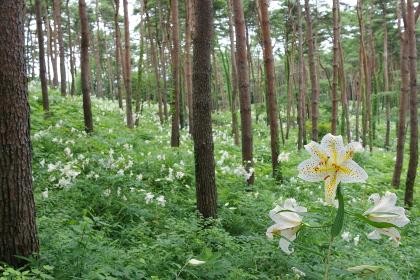 宮城県大衡村、昭和万葉の森、ヤマユリの群生
