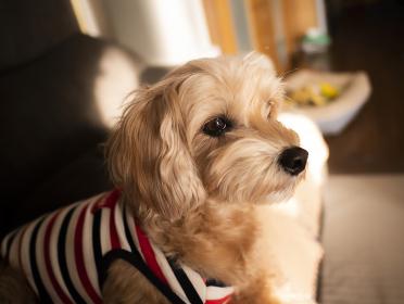 ソファーから遠くを見つめるかわいいアプリコットの小型犬【マルプー】