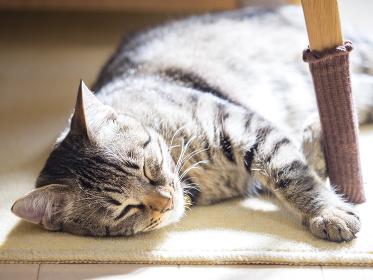 子猫,猫,ペット,メス,哺乳類,動物,キジトラ,かわいい,ネコ,生物,ねこ,可愛い,仔猫,雌,日本,生き物,昼寝,寝る,寝顔,赤ちゃん,眠る,睡眠,リラックス,アジア,東洋,ベビー,あかちゃん,