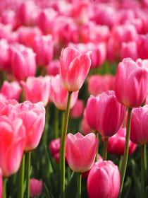 ピンク色のチューリップ畑