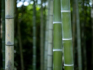 竹林の青竹 7月