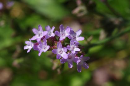 野の花「アレチハナガサ」