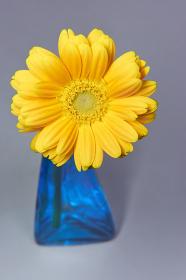 グレーバックの黄色いガーベラの花 一輪挿し