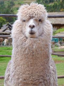 ペルー・クスコ近郊の牧場でユニークな表情をした白いアルパカの上半身クローズアップ