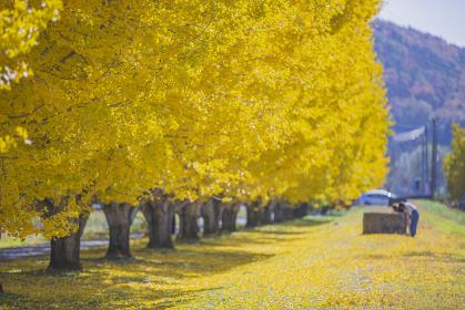 長野県中川村 銀杏並木の紅葉